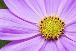Kosmos Blumenhintergrund