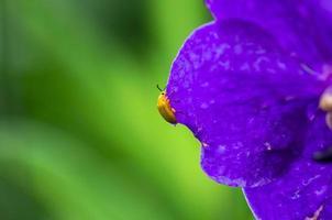 gelber Käfer auf Blatt der lila Orchidee
