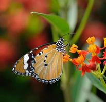 Schmetterling auf orange Blume foto