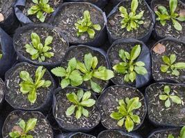 Gruppe von Bäumchen grünen Blattpflanzen Draufsicht Nahaufnahme