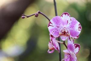 weiße und lila Phalaenopsis Orchidee foto