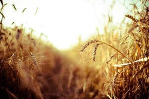 Weizen foto