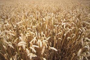 Weizenfelder im Sommer foto