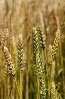 Getreide foto