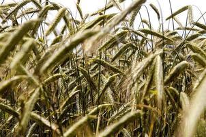 Felder von Weizenähren foto