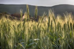 Weizen weht im Wind