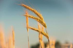 Ährchen von Weizen