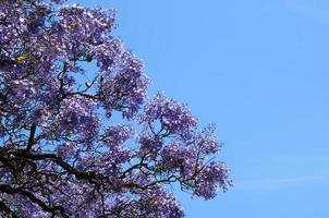 Jacaranda-Baum foto