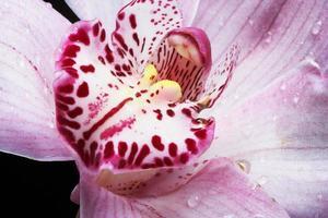 rosa Orchidee foto