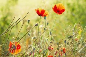 Sommerwiese, Mohn und Mohn zwischen Gras und Kräutern