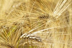reifer Weizen foto