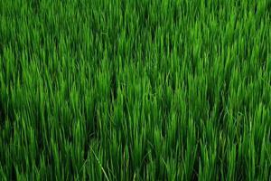 Reis auf dem Feld