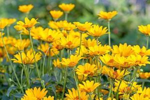 Hintergrund der leuchtend gelben Gänseblümchen
