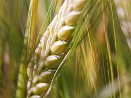 Weizenähre Makro foto