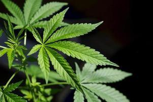 hautnahes Foto von lebenden Marihuana-Pflanzenblättern