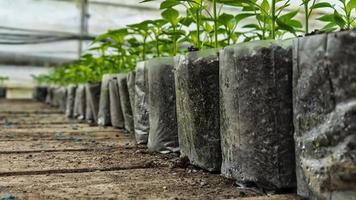 kleine Pfefferpflanzen in einem Gewächshaus zum Umpflanzen