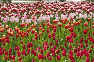 Tulpenhintergrund