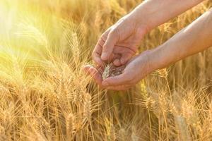 Weizen in Händen foto
