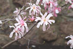 Zweig blühende Magnolie foto