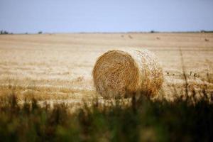 gelbes Korn bereit für die Ernte, die in einem Bauernhoffeld wächst