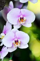 Phalaenopsis foto
