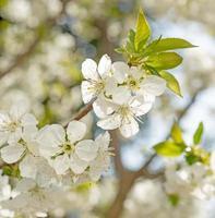 Blütenkirsche über Naturhintergrund