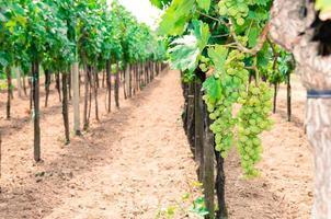 Reihen von Weinbergen
