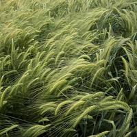Nahaufnahme von Getreidekörnern foto