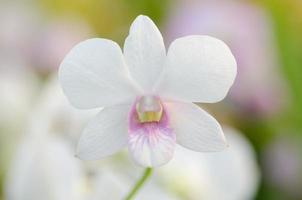 Dendrobium Pompadour foto