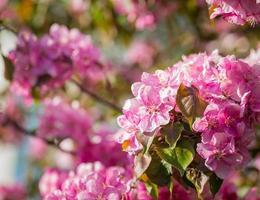 Paradies Apfelbaum blüht, foto