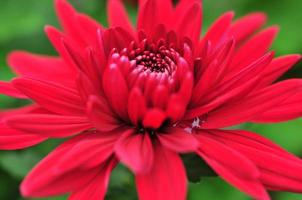 Chrysantheme foto