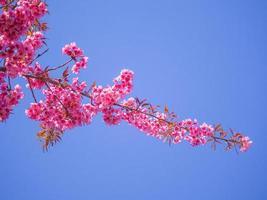 rosa Kirschblüte auf blauem Himmelhintergrund