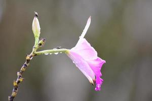 schöne Landorchidee