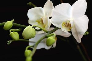 weiße Orchideenblumen-Nahaufnahme