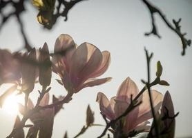 Magnolie foto