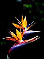 der Paradiesvogel blüht foto