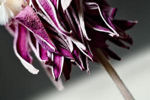 lila verwelkte Blume foto