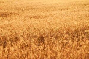 Weizenfelder