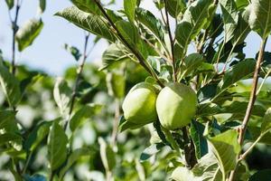 grüne Äpfel auf Ast foto