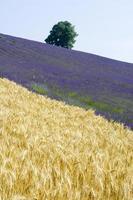 campo di lavanda e grano