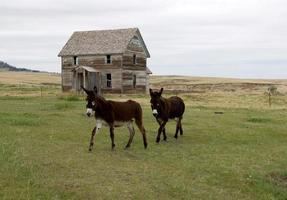 Esel und altes verlassenes Bauernhaus foto