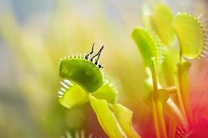 Nahaufnahme der Venusfliegenfalle (Dionaea muscipula), die eine Fliege isst.