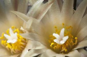 Turbinicarpus Blüten foto