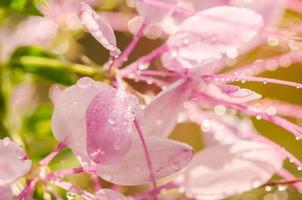 Cleome Hassleriana oder Spinnenblume oder Spinnenpflanze foto