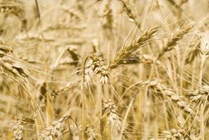 Ährchen von Weizen foto