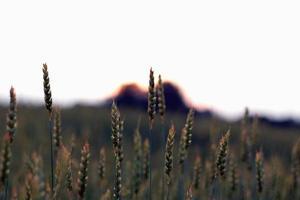 Feld der Roggen Ährchen foto