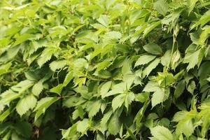 grünes Weinblatt im Freien