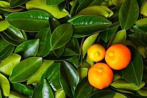 Calamondin Zitrusfrüchte foto