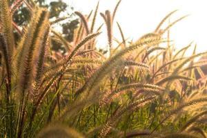 blühendes Gras, Vintage Licht.
