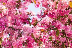 Paradies Apfelbaum blüht,